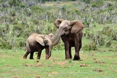 Elefante de África com vitela Foto de Stock Royalty Free