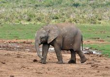 Elefante de África del bebé imágenes de archivo libres de regalías
