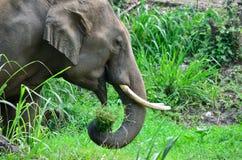 Elefante de Ásia que come a grama Imagens de Stock