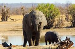 Elefante de Adfrican que toma una bebida con un hipopótamo grande en el fondo imagen de archivo