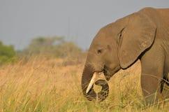 Elefante de alimentación Fotos de archivo