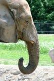Elefante de alimentación Imagen de archivo libre de regalías