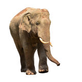 Elefante de Asia Fotos de archivo