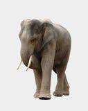 Elefante de Asia aislado Fotografía de archivo