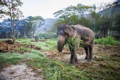 Elefante de Asia que come la hierba Fotos de archivo libres de regalías