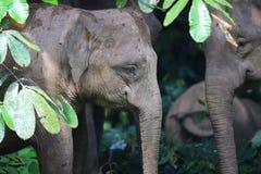 Elefante de Bornéu foto de stock