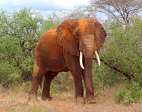 Elefante de Bull Imagens de Stock