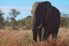 Elefante de Bull Foto de archivo libre de regalías