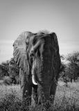 Elefante de Bull Imágenes de archivo libres de regalías