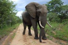 Elefante de Bull masculino en el parque nacional de Hwage, Zimbabwe, elefante, colmillos, casa de campo del ojo del ` s del elefa Imágenes de archivo libres de regalías