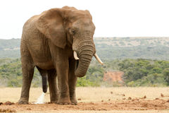 Elefante de Bush con su cabeza abajo - necesite por favor una cierta privacidad Fotografía de archivo libre de regalías