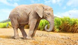 Elefante de Bush do africano - africana do Loxodonta perto do campo do cana-de-açúcar imagens de stock royalty free