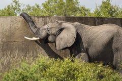 Elefante de consumición Fotos de archivo