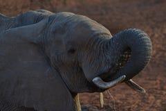 Elefante de consumición feliz Foto de archivo