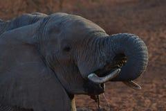 Elefante de consumición feliz Fotos de archivo