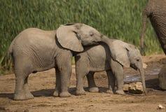 Elefante de dos bebés en el agujero de agua Foto de archivo libre de regalías