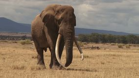 Elefante de Kenia almacen de metraje de vídeo