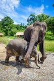 Elefante de la madre y del bebé en el parque protegido, Chiang Mai, Tailandia fotografía de archivo