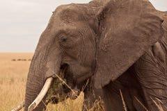Elefante de la momia en Kenia Fotos de archivo