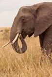 Elefante de la momia en Kenia fotografía de archivo