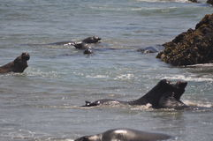 Elefante de mar Imagens de Stock