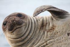 Elefante de mar schatching foto de archivo libre de regalías