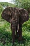 Elefante de mirada curioso Fotografía de archivo libre de regalías