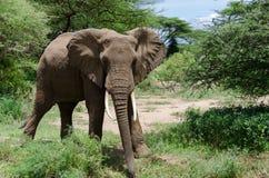 Elefante de mirada curioso Imagen de archivo libre de regalías