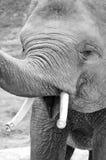 Elefante de riso Fotografia de Stock Royalty Free