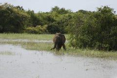Elefante de Sri Lanka Imágenes de archivo libres de regalías
