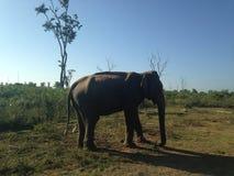 Elefante de Sri Lanka Imagem de Stock Royalty Free