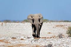 Elefante de toro africano - parque nacional de Etosha Fotos de archivo libres de regalías