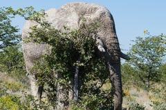 Elefante de toro grande que rasguña en el árbol - miradas como él ` s que intenta ocultar fotos de archivo libres de regalías