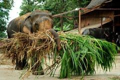 Elefante de trabajo grande que transporta ensilaje Fotos de archivo libres de regalías