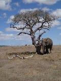 Elefante debajo del árbol muerto Imágenes de archivo libres de regalías