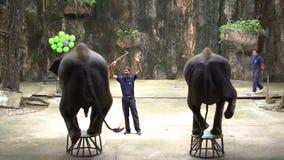 """Elefante del elefante del †diario de la demostración """"que se coloca en silla en Sriracha Tiger Zoo, Tailandia almacen de video"""