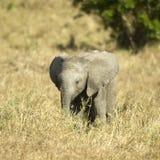Elefante del bambino immagine stock