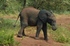 Elefante del bambino Immagini Stock Libere da Diritti