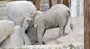 Elefante del bambino allo zoo Immagini Stock