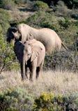 Elefante del bambino e della madre Fotografie Stock