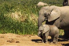 Elefante del bambino e della madre Fotografia Stock