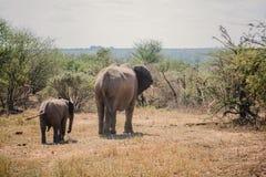 Elefante del bambino e della mamma Fotografie Stock Libere da Diritti
