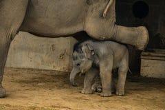 Elefante del bambino nell'ambito della gamba del ` s di mamma Immagine Stock Libera da Diritti
