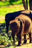 Elefante del bambino in Sri Lanka Fotografia Stock Libera da Diritti