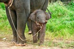 Elefante del bebé Imagen de archivo libre de regalías