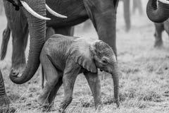 Elefante del bebé Foto de archivo