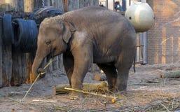 Elefante del bebé Fotografía de archivo