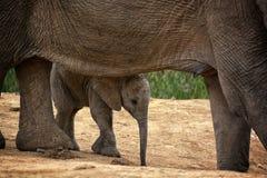 Elefante del bebé debajo del elefante de la madre del vientre fotografía de archivo