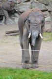 Elefante del bebé en el parque zoológico Fotos de archivo libres de regalías