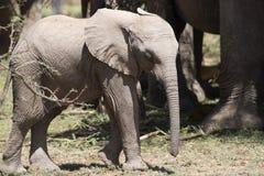 Elefante del bebé en sol Fotos de archivo libres de regalías